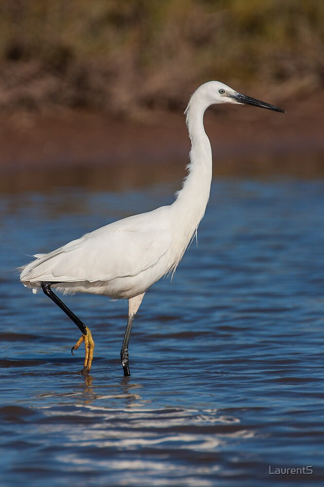 Little Egret in the water by LaurentS
