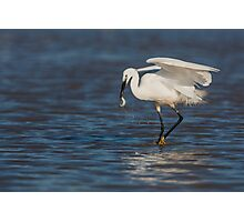 Little Egret catching a fish Photographic Print