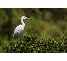 Little Egret sitting on a bush Photographic Print