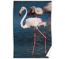 Beautiful female Flamingo in the water Poster