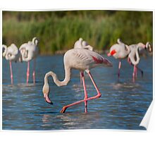 Group of Flamingo's Poster