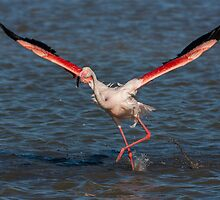 Running Flamingo by LaurentS