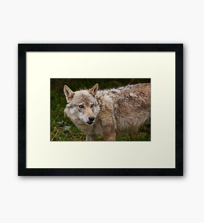 Wolf with beautiful eyes Framed Print