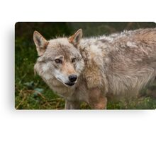 Wolf with beautiful eyes Metal Print