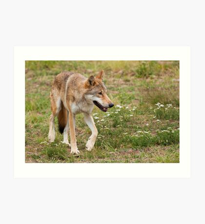Wolf walking Art Print
