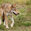 Wolf walking by LaurentS