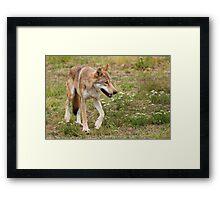 Wolf walking Framed Print