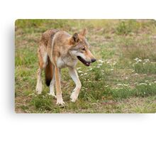 Wolf walking Metal Print