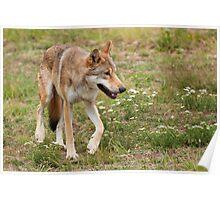 Wolf walking Poster