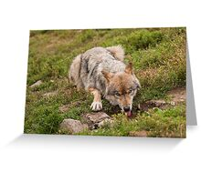 Wolf drinking Greeting Card