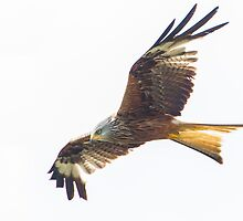 Red Kite in flight by LaurentS