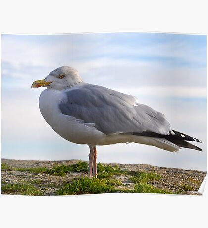 Chilly Herring Gull Poster