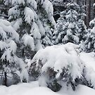 Conifer Forest in Snow by Martins Blumbergs
