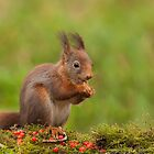 Red Squirrel eating nuts by LaurentS