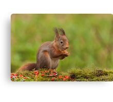 Red Squirrel eating nuts Canvas Print