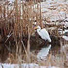 Great White Egret in the pond by Mavourneen Strozewski