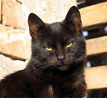Black Cat  by branko stanic
