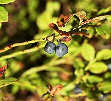blueberry by mrivserg