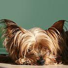 Sleeping Yorkie Dog by AntiCollegial