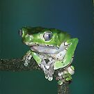 Giant Waxy Monkey Frog by AntiCollegial