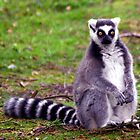 Surprised Ring Tailed Lemur by Coemlyn
