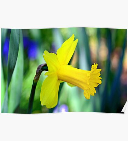 Daffodil With Natural Bokeh Poster