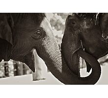 Friendship (Elephants) Photographic Print