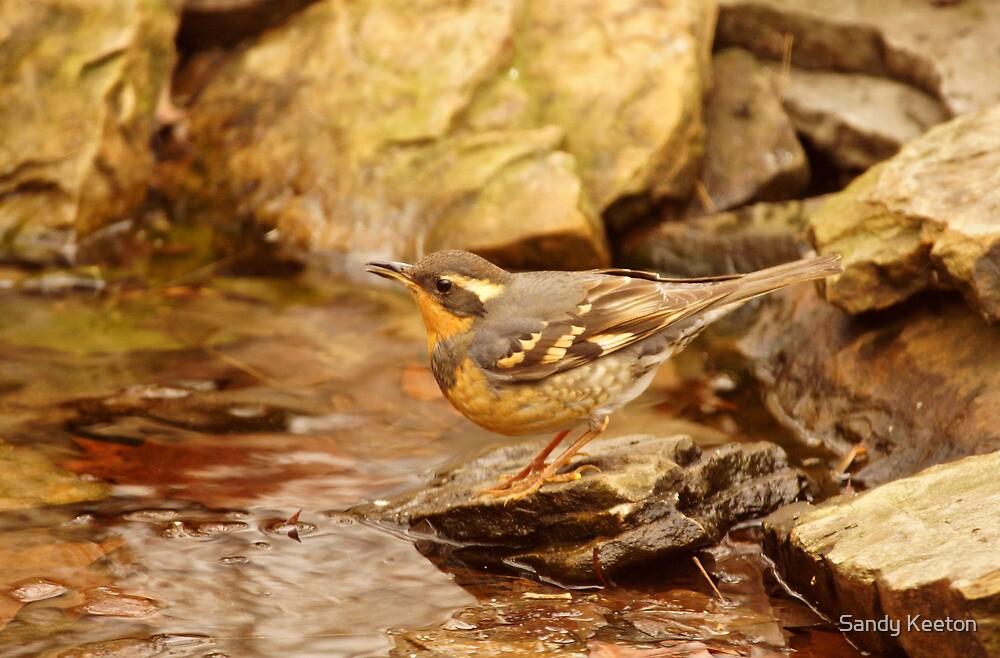 Varied Thrush by Pond by Sandy Keeton
