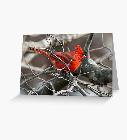 Northern Cardinal in Budding Maple Twigs Greeting Card