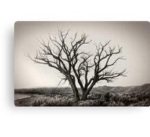 Old Washoe tree #1 Canvas Print