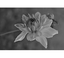 Dahlia Photographic Print