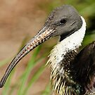 Straw Necked Ibis by Winston D. Munnings
