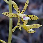 Yellow Hyacinth Orchid - Dipodium hamiltonianum by Paul Piko