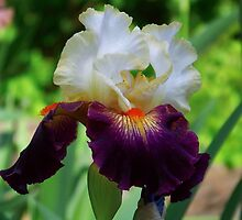 Bearded Iris by James Brotherton
