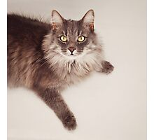 Semi long haired english blue male cat Photographic Print