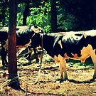 Tropical Cows by tropicalsamuelv