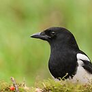 Magpie by LaurentS