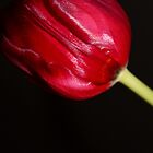Tulip on Black by karina5