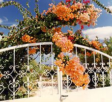 Bougainvillea & Gate by Francis Drake