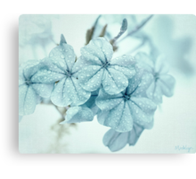 Plumbago is the language that my garden speaks in summer... Canvas Print