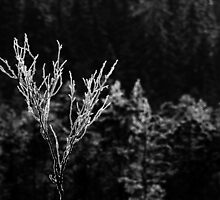 17.1.2013: Birch, Frost and Winter Day Light by Petri Volanen