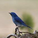 Bluebird by Kathi Arnell
