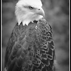 American Bald Eagle by klh0853