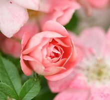 Delicate Pink Rose by Iselilja
