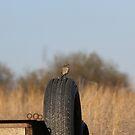 Female Bluebird by Kathi Arnell
