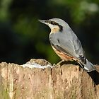 Nuthatch on a tree by kelly-m-wall