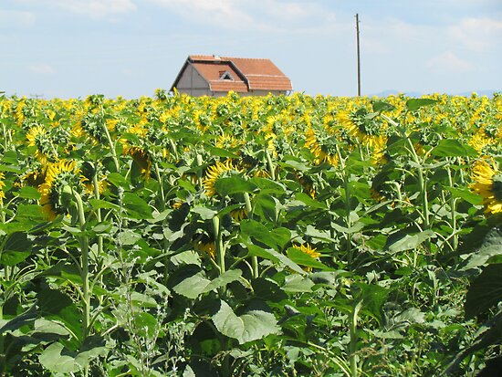 Sunflowers, Kosovo by Martina Nicolls
