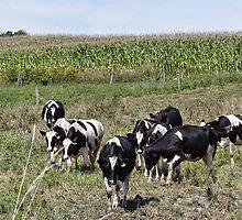 Cows comin home by vigor