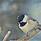Black Capped Chickadee with texture and decorations by portblessed