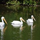 White Pelican by barnsis